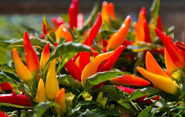 Alles über Paprika und Peperoni